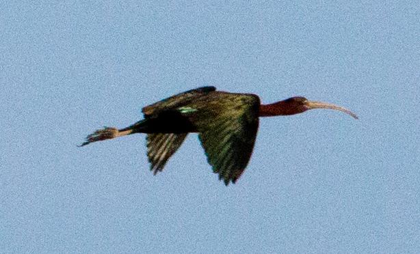 bird beak BIG C6729
