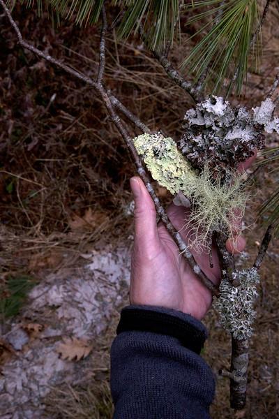 lichen GC C2187