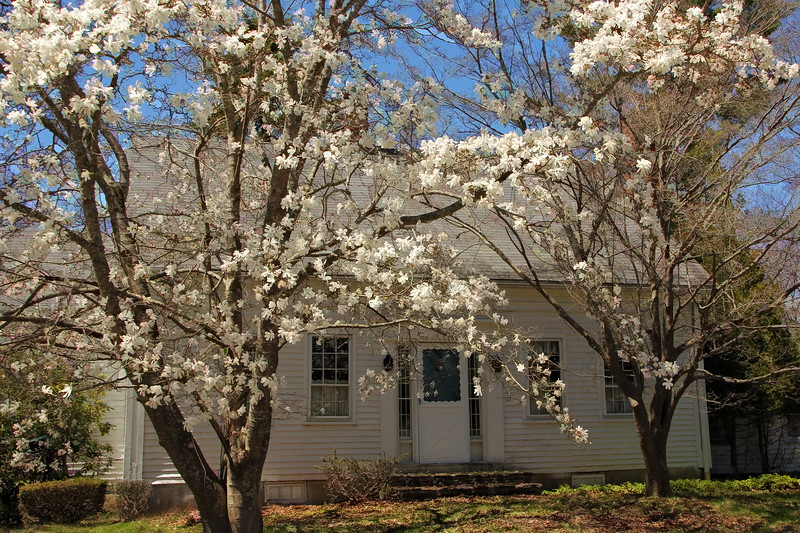 Magnolia Tree and Old House