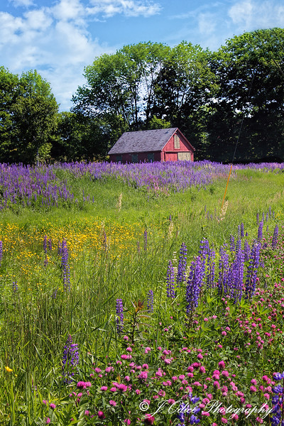 Little Red Shed and Lupines