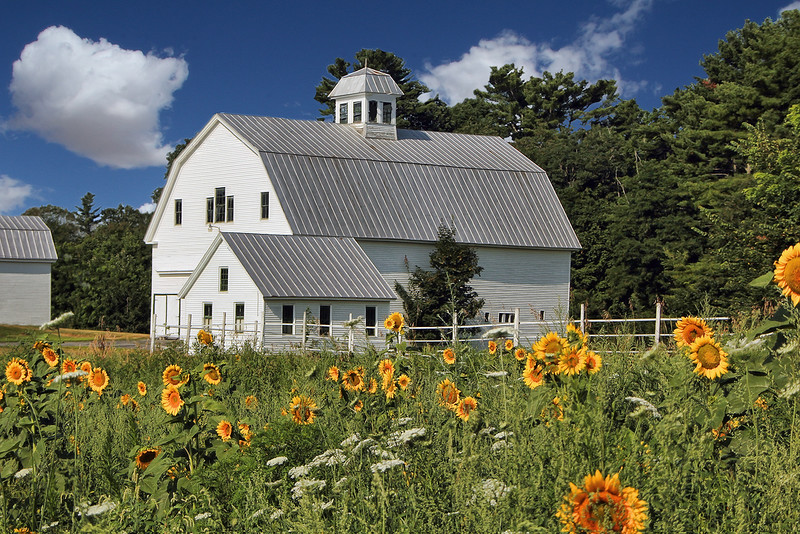 Sunflowers and White Barn
