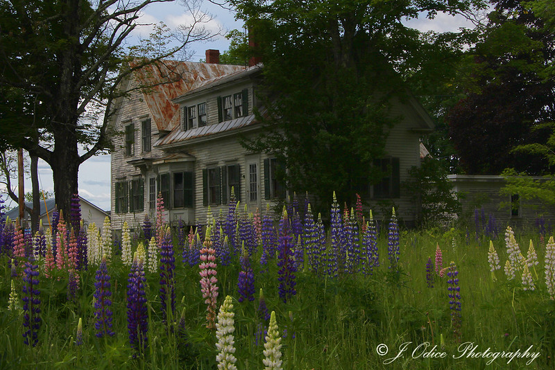 Old House and Lupines