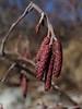 Alder Tree Seed Pods
