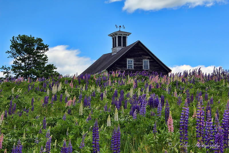 King's Mill  Lupines