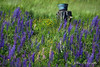 Washtub and Lupines
