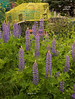 Lobster Trap and Lupine