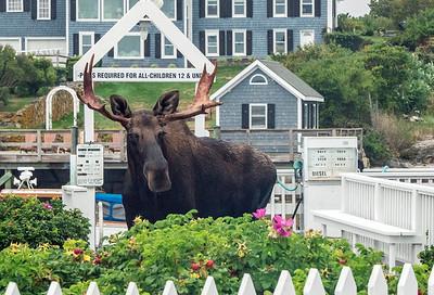 Moose BPYC 09733