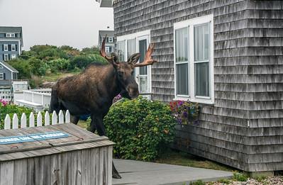 Moose BPYC 09734
