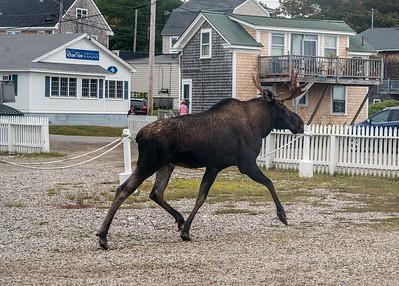 Moose 09739