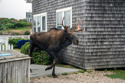 Moose BPYC 09735