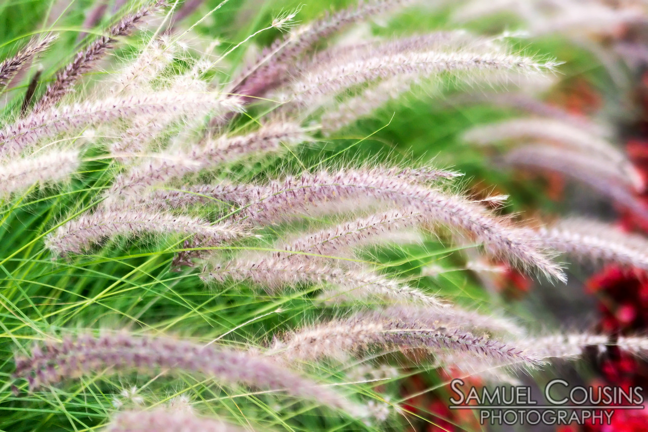 An ornamental grass on the West End.