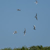Terns over the island