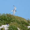 The terns were always in view, this one carrying its catch.