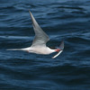 A tern carrying a flying fish?
