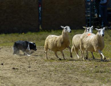 Sheep Dog Trials at Blue Hill Fair