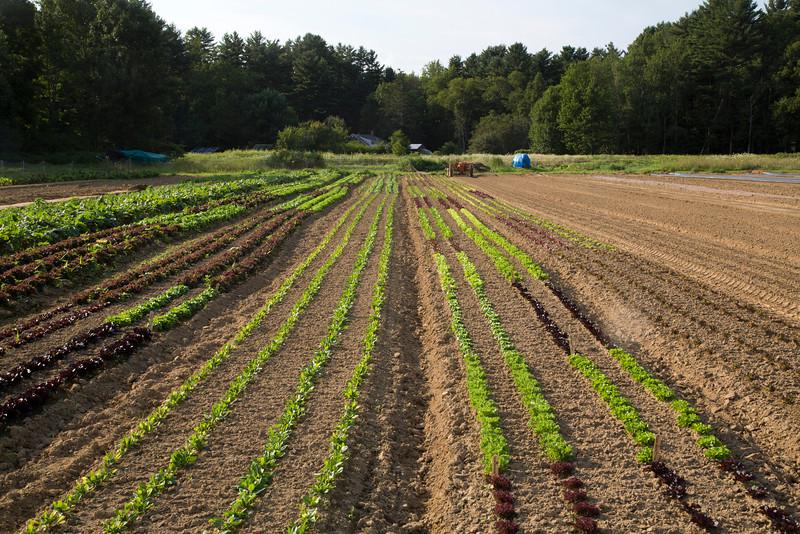 lettuces C7154