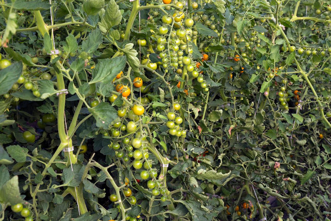 tomatoes C7174