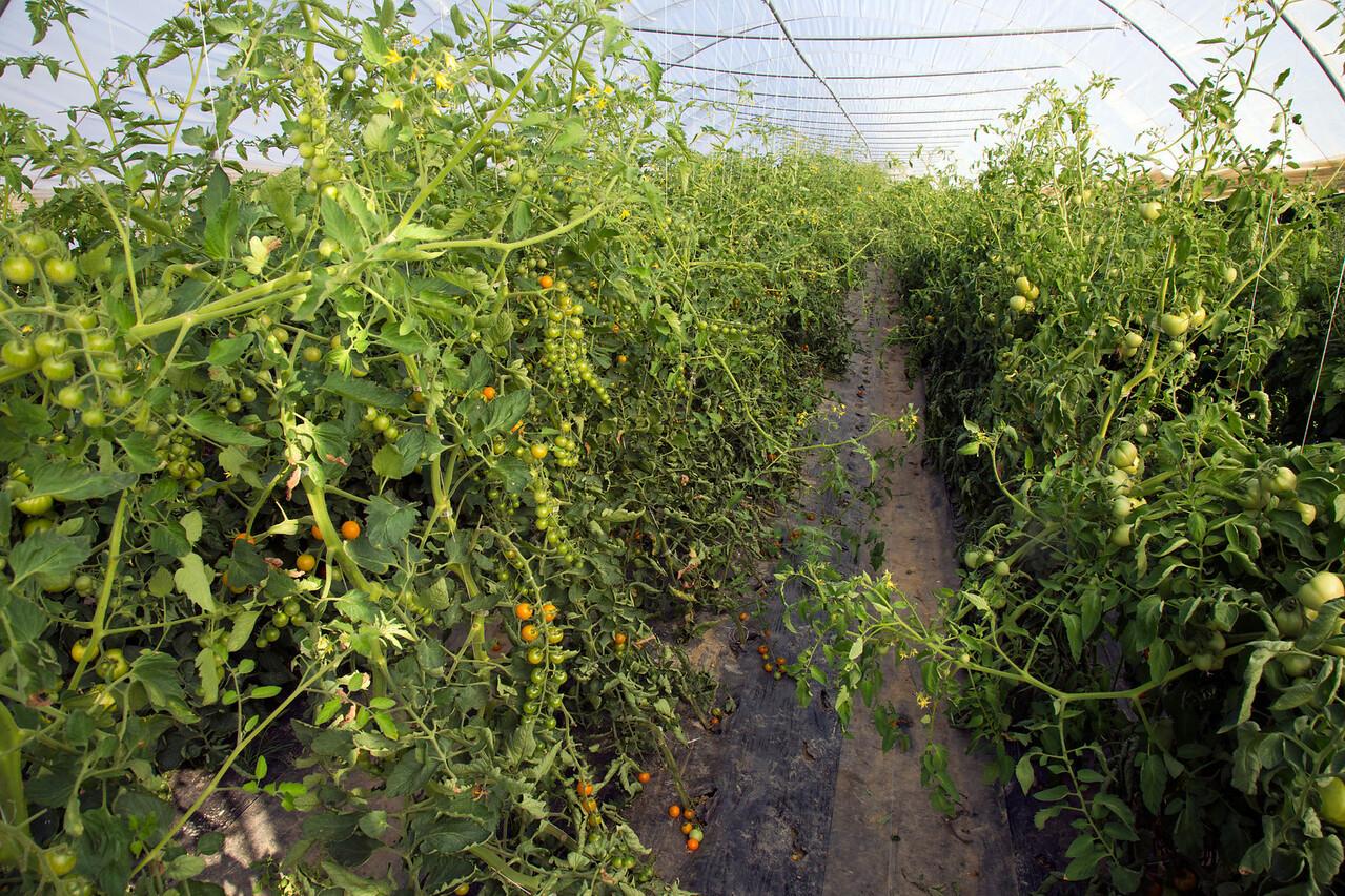 tomatoes C7173