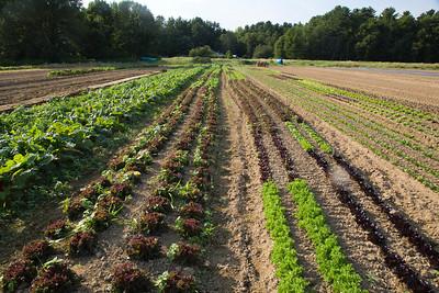 lettuces C7153
