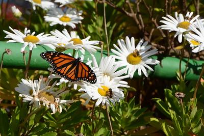 Monarch Butterflies, Cape Small, Maine