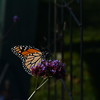 Monarch Butterflies in Maine garden