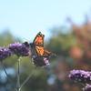 Monarch Butterflies in Maine garden