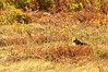 Red-tail Hawk in the oak and field, catching a garter snake for lunch at about 1155; yum, filet de viper.
