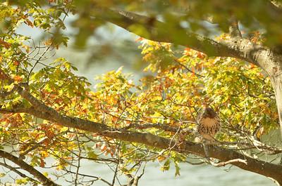 Redtail Hawk catching snake