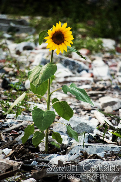 A lone sunflower grows in the middle of the sanctuary rubble.