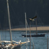 An osprey checks out the boats