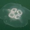 Large jellyfish near the dock.