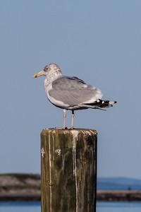 Seagull sunning