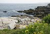 Portland Lighthouse Area Rocks and Yarrow Flowers, Maine