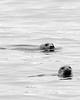 """Two Seals, Monhegan Island, Maine,"" color photo"
