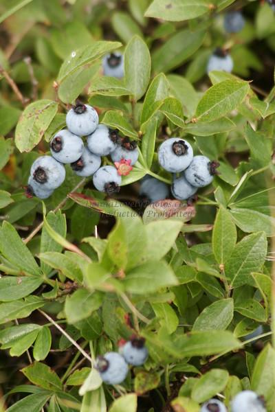 """Maine Blueberries"""