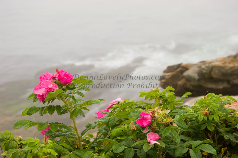 Roses on the Rocks in Fog