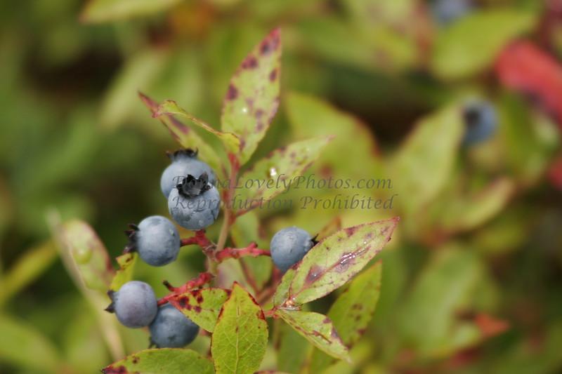 """""""Maine Blueberries, Mt. Battie,"""" color photo"""