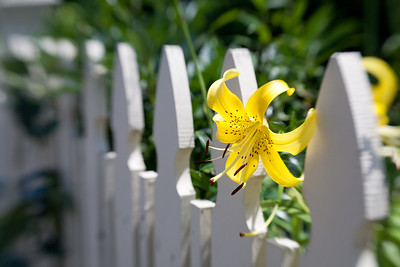 White Fence and Yellow Bloom, Ogunquit, Maine (7228)