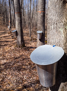 Collecting Maple Sap in Maine  (79587)