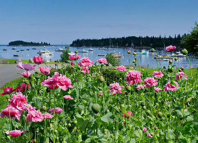 Pink Peonies, Tenants Harbor, Maine (30721)