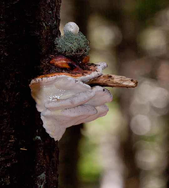 mushroom, fungus, Phippsburg, Maine. This is an assemblage of fungi done by a person with a sense of humor. The bottom layer is Shelf Mushroom. It has a 'cigar' of a stick of wood and a tamoshanter hat made of lichen