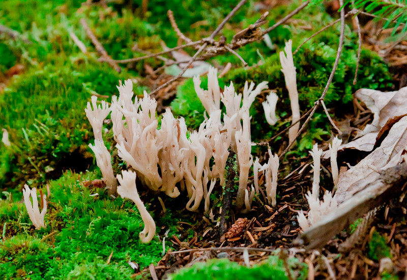 cream colored Clavicorona pyxidata or Coral fungus,  also called Club fungus, Phippsburg, Maine. These grow where there is abundant moisture as seen in the green moss.They are very soft and fragile.