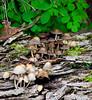 Mycena Alcalena, possibly mushroom, fungus, Maine mushroom, fungus, Phippsburg, Maine