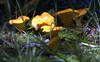 Chantrelles mushroom, fungus, Maine mushroom, fungus, Phippsburg, Maine