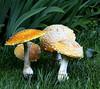 Amanita mushrooms, summer, Phippsburg Maine mushroom, fungus, Maine mushroom, fungus, Phippsburg, Maine
