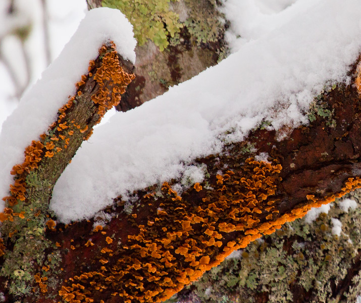 Dachrymyces Palmatum, Orange Jelly Fungus, mushroom,  Phippsburg, Maine, Witches Butter, Tremela Mesenterica growing on apple tree. Classic of these mushrooms is the mushroom forming with wet snow fall that provides the necessary moisture for the spores to develop into mushrooms. It looks soft and jelly like but is actually rather rubbery. West Point, Phippsburg, Maine
