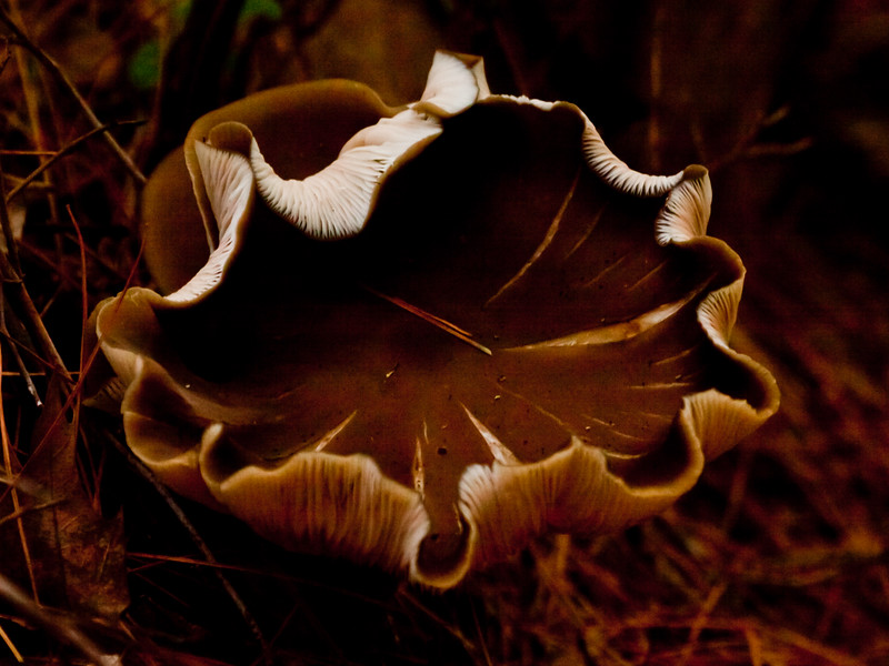 amazing, delicate cup formed by this sable, brown mushroom, fungus, Maine mushroom, fungus, Phippsburg, Maine. possibly Peziza Cox's Head, Coxs Head, Wilbur Preserve,