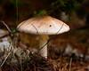 mushroom, fungus, Maine mushroom, fungus, Phippsburg, Maine Cox's Head, Coxs Head, Wilbur Preserve,