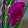 purple gladiolus. This would make a nice card. petals, corolla, filaments, anthers, styles and stigma