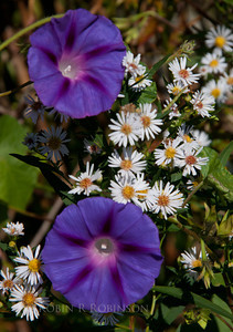Morning Glories and asters, September Phippsburg Maine coastal garden petals, corolla, filaments, anthers, styles and stigma